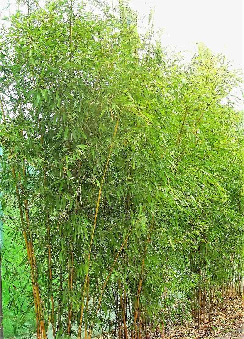 Bambus - Kultur, Aussaat, Pflege, Diskussion und Bilder von Bambusa und Fargesia - Seite 6 Bambus10
