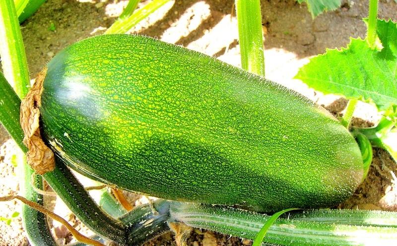 Kürbisgewächse - Cucurbitaceae: Melonen, Gurken, Kürbisse und Zucchini - alle Verteter der nichtsukkulenten Arten - Seite 4 Cucurb10