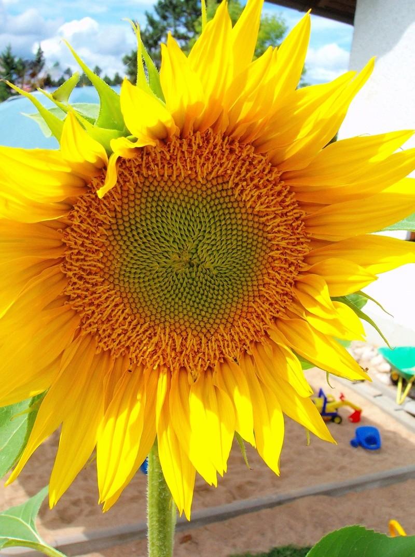 Sonnenblumen(artige) - Heliantheae - Seite 3 Helian10