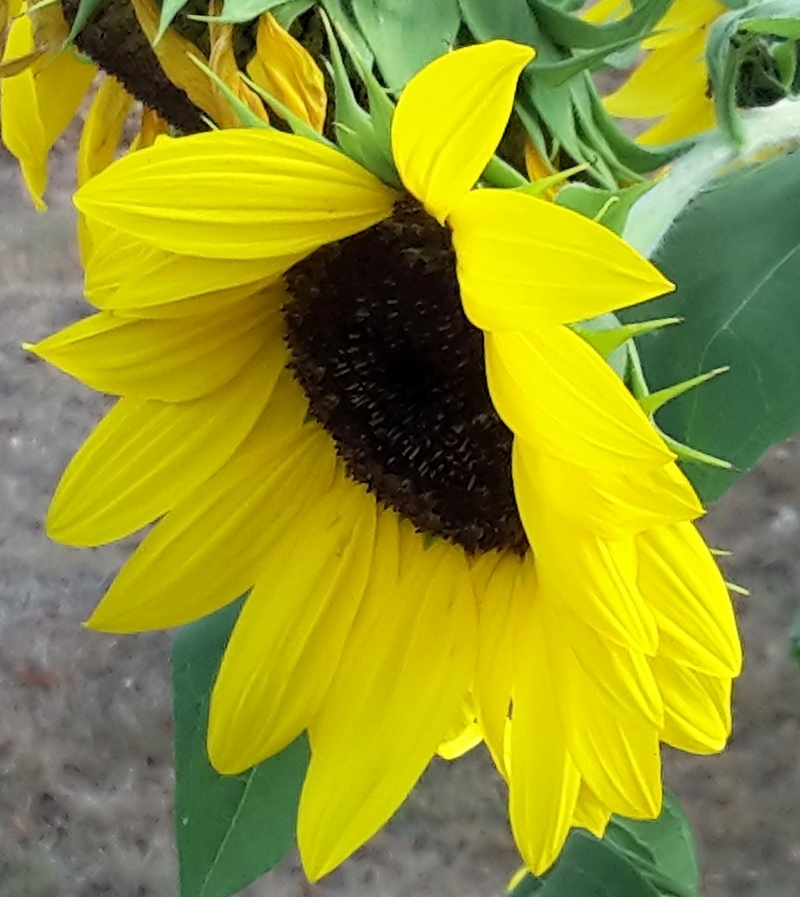 Sonnenblumen(artige) - Heliantheae - Seite 3 Helian11