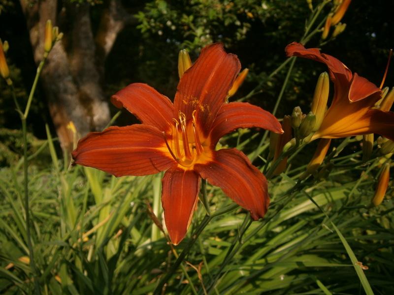 Hemerocallis - Taglilien - Schönheiten im Juni und Juli - Seite 7 Hemero10