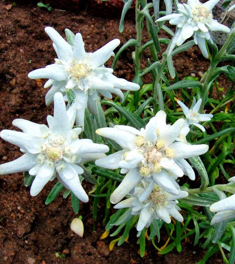 Edelweiss (Leontopodium) - Seite 2 Leonto10