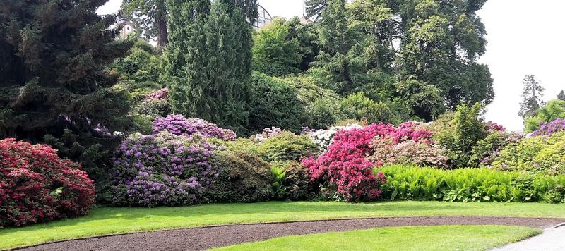 Rhododendron Rhoden10