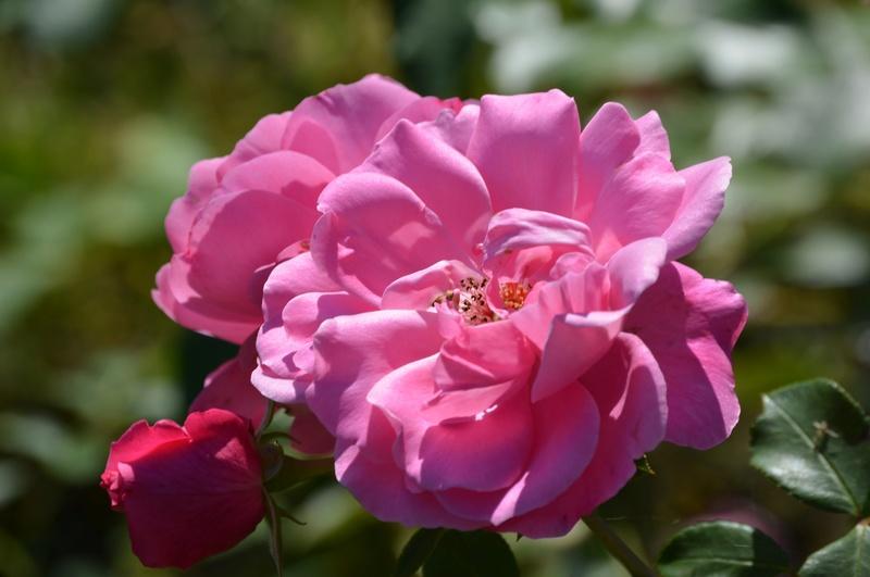 """Rosen - ein Thread für die """"Königin"""" - Seite 10 Rosa_p10"""