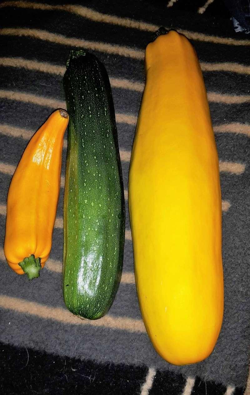 Kürbisgewächse - Cucurbitaceae: Melonen, Gurken, Kürbisse und Zucchini - alle Verteter der nichtsukkulenten Arten - Seite 5 Zucchi10
