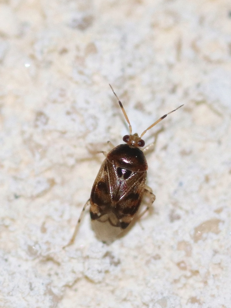 [Deraeocoris lutescens] Deraeocoris lutescens  Img_1010