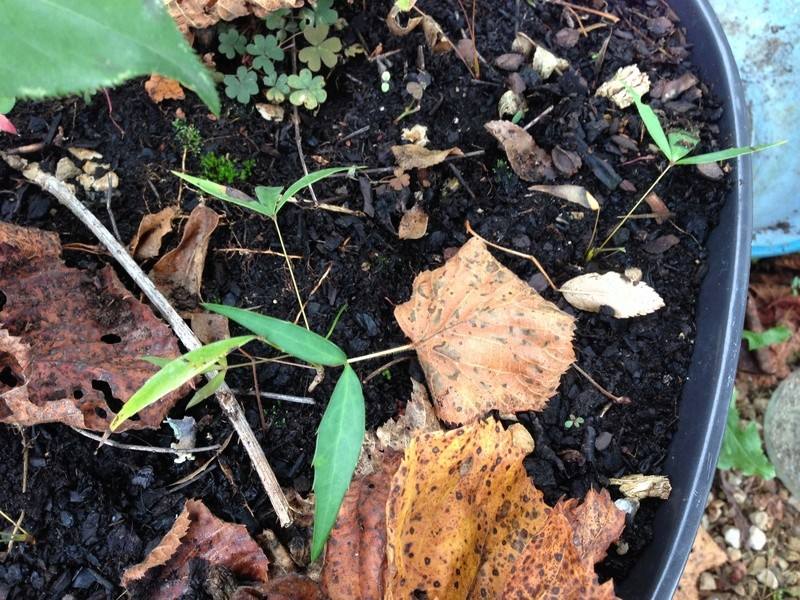 Mahonia eurybracteata - Page 3 Img_2926