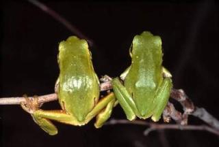 Les deux grenouilles 2frogs10