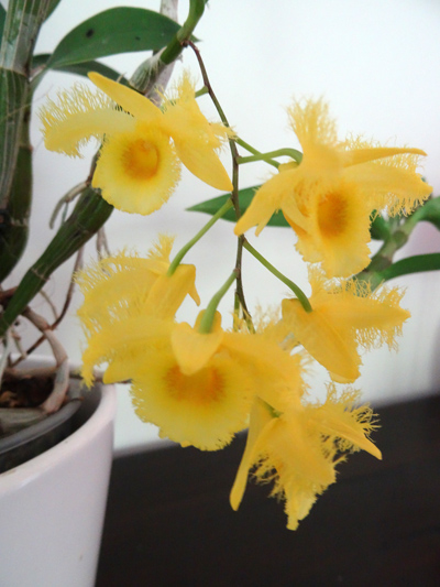Dendrobium harveyanum Dendro10