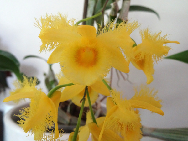 Dendrobium harveyanum Dendro11