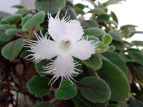 Episcia dianthiflora (= Alsobia dianthiflora) Episci10