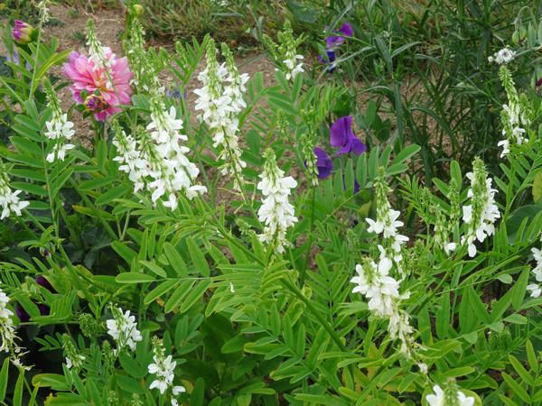ces quelques fleurs de nos jardins - Page 4 Galega10