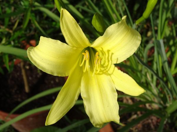 Hemerocallis - des variétés - Page 7 Hemero10