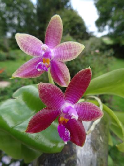 Phalaenopsis - hybrides primaires - Page 4 Phalae11