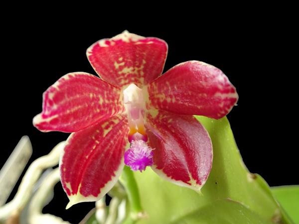 Phalaenopsis - hybrides primaires - Page 4 Phalae12