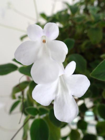 Streptocarpus saxorum Strept12