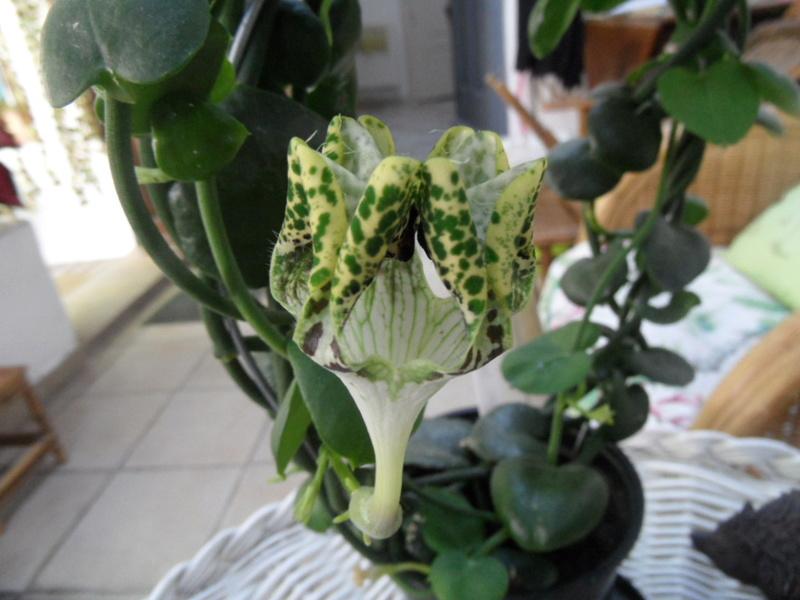 Floraisons d'intérieur  - Page 6 Sam_3911