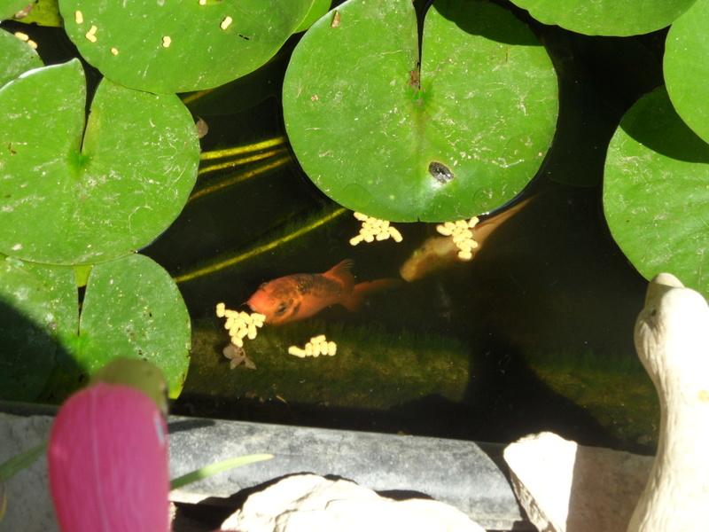 Les poissons de bassins Sam_3912