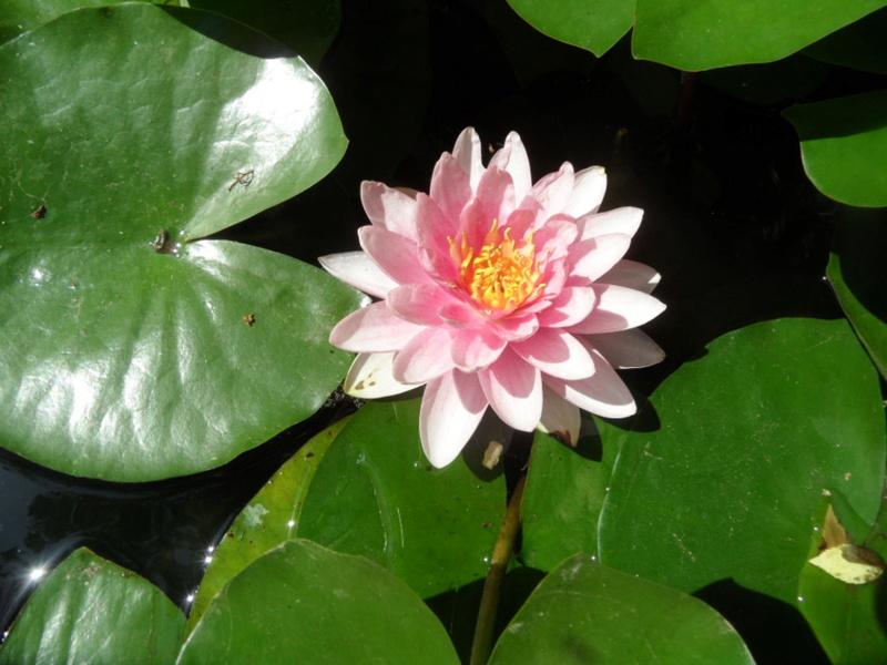 Les plantes aquatiques Sam_4017