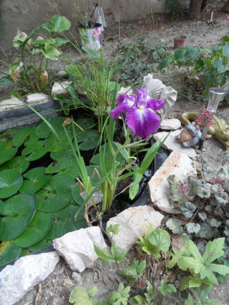 Les plantes aquatiques Sam_4018