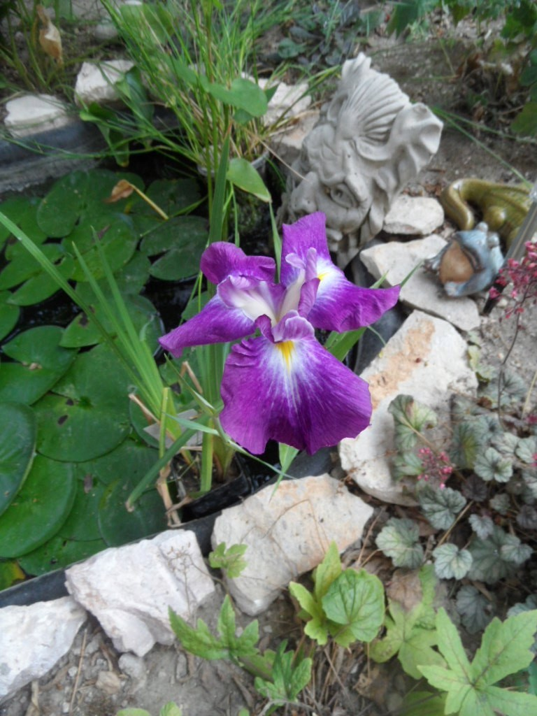 Les plantes aquatiques Sam_4019