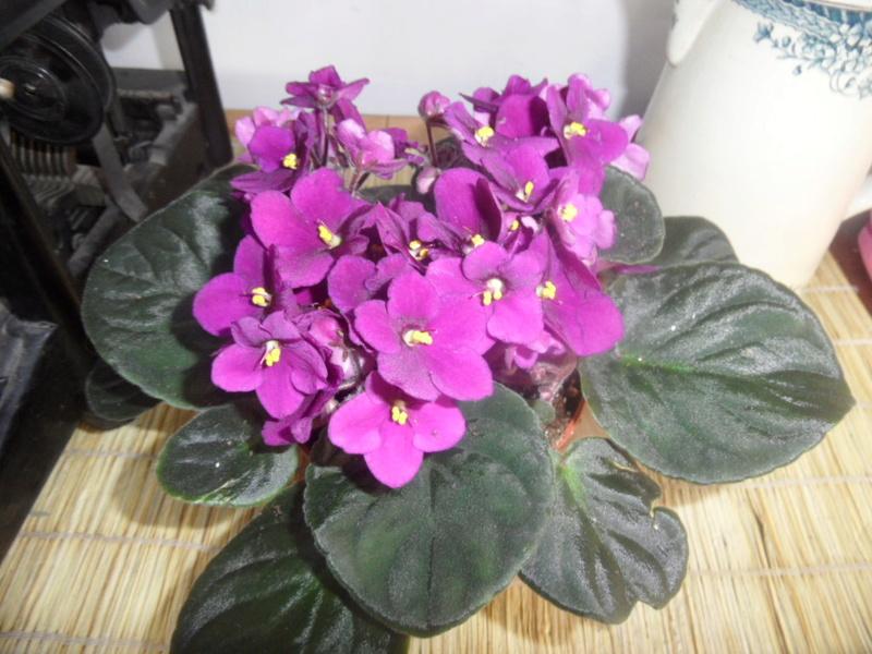 Les violettes africaines / violettes du cap(Saint Paulia). Entretien, espèces, des photos. - Page 2 Sam_4135