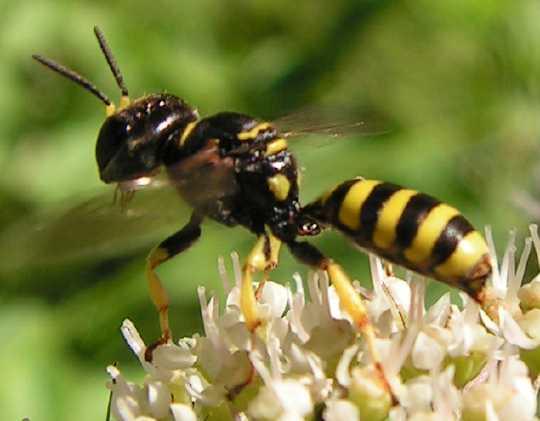 Le monde merveilleux des insectes - Page 4 Ectemn10