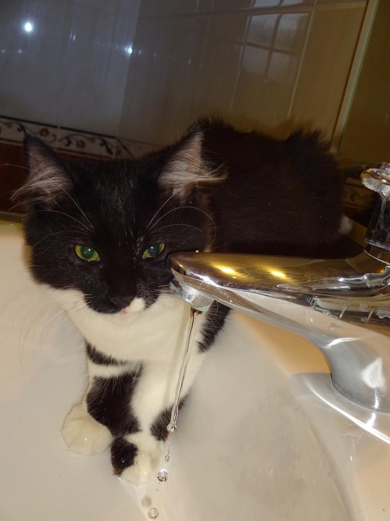 ZOE, jolie petite chatonne noire et blanche de 2 mois et demi  Dsc00411