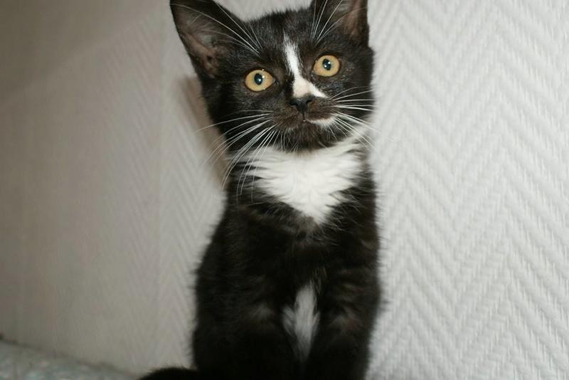 Mia, adorable chatonne noire de 3 mois  avec nez et soquettes blancs Mia10