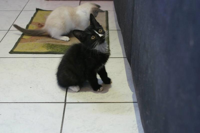 Mia, adorable chatonne noire de 3 mois  avec nez et soquettes blancs Mia110
