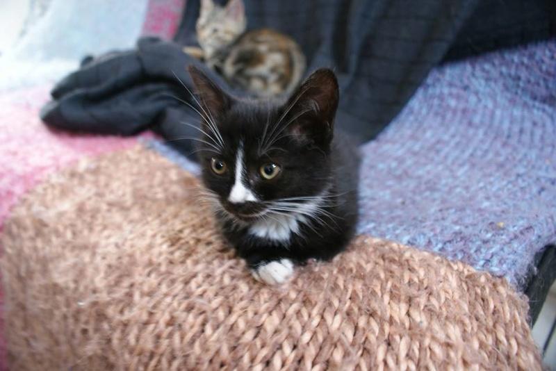 Mia, adorable chatonne noire de 3 mois  avec nez et soquettes blancs Mia210