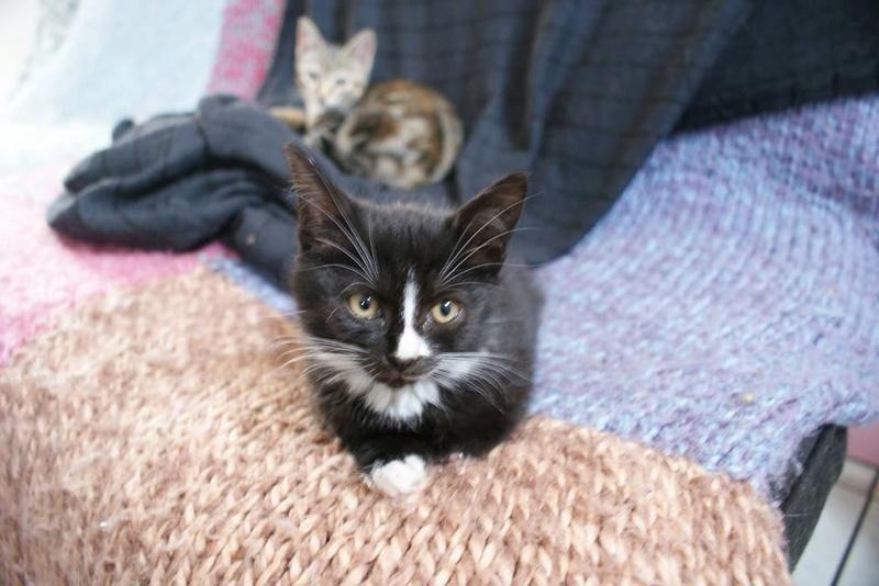 Mia, adorable chatonne noire de 3 mois  avec nez et soquettes blancs Mia310