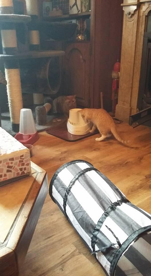 MOKKA, adorable chaton mâle roux claire et blanc de 3 mois Mokasa10