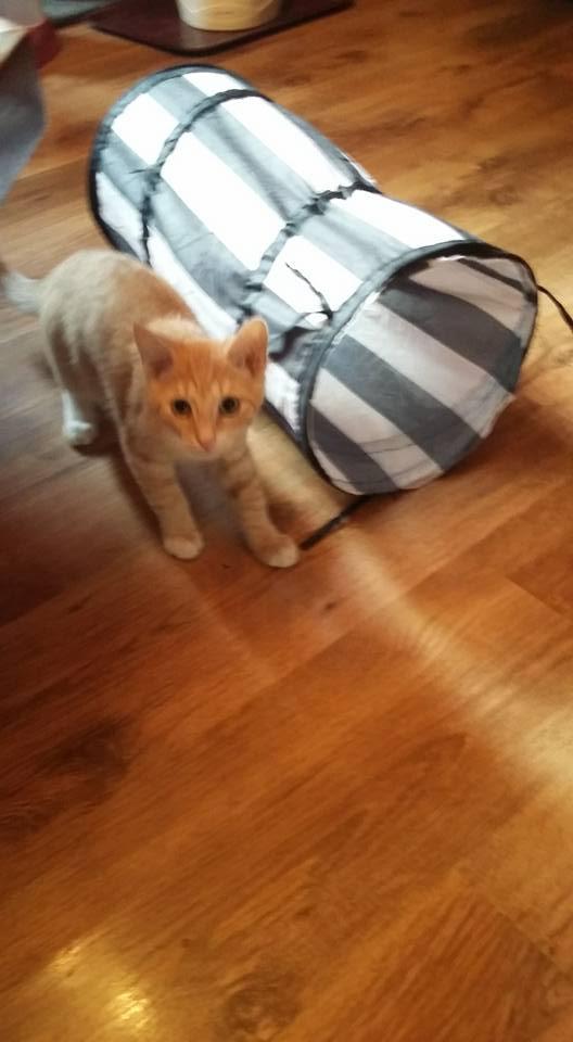 MOKKA, adorable chaton mâle roux claire et blanc de 3 mois Mokasa11