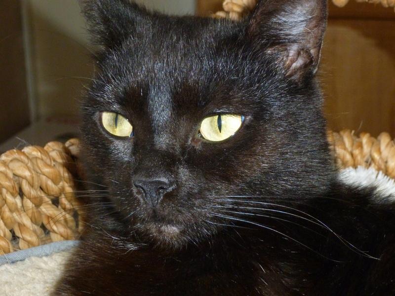 LUCY, adorable petite panthère noire de salon de 11 mois P1040230