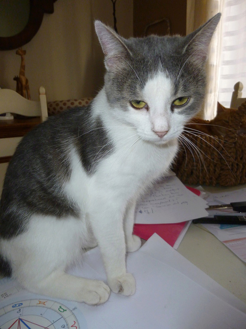 SUSHI, adorable chat mâle blanc et gris de 1 an P1040317