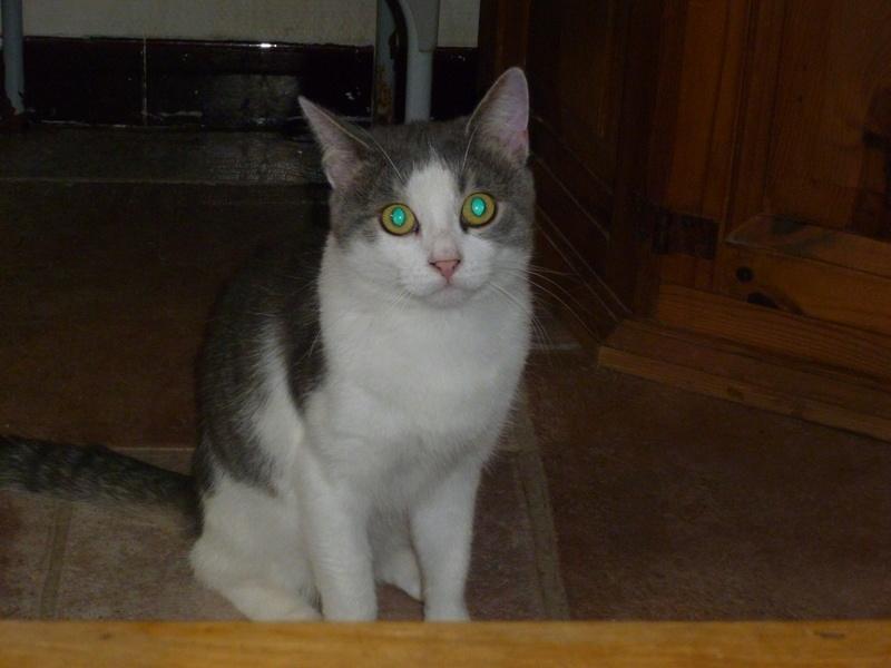 SUSHI, adorable chat mâle blanc et gris de 1 an P1040318