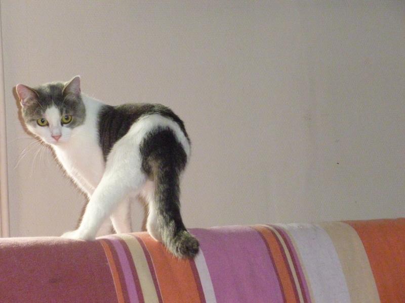 SUSHI, adorable chat mâle blanc et gris de 1 an P1040319