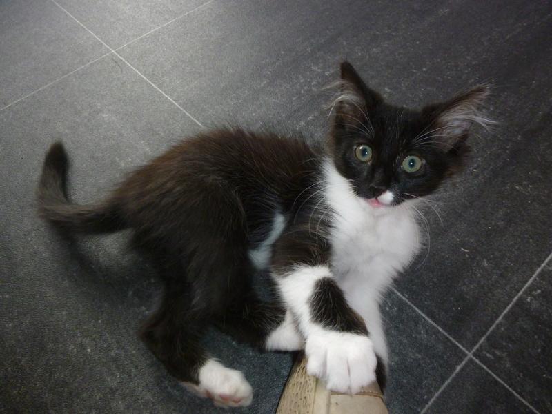 ZOE, jolie petite chatonne noire et blanche de 2 mois et demi  P1040320