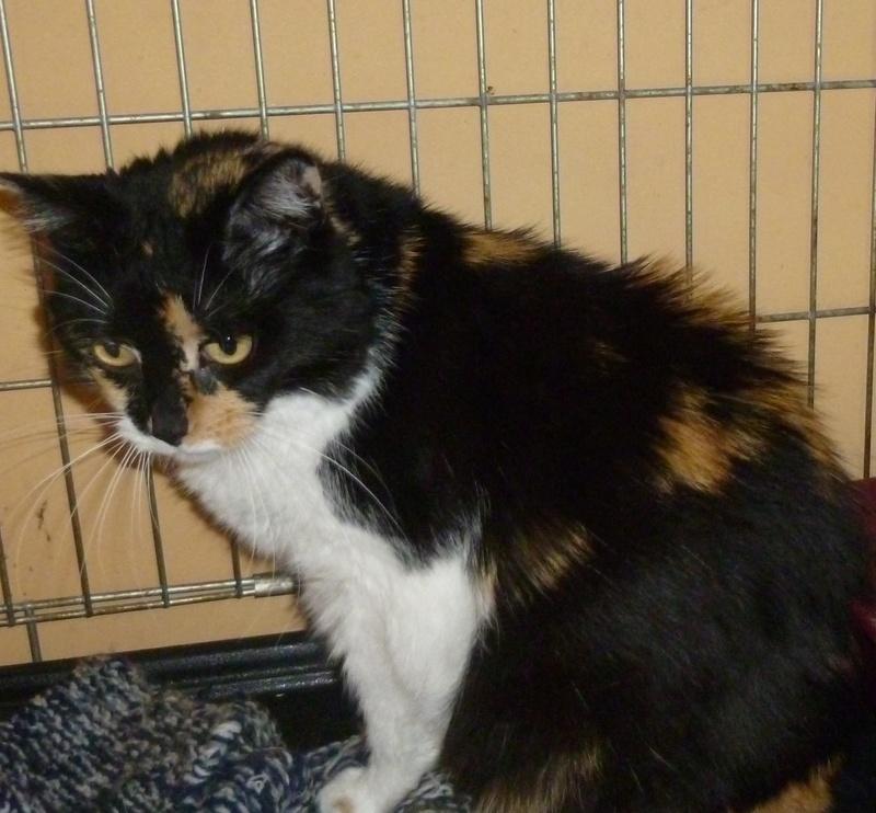 Fifille, belle petite chatte tricolore à poils mi longs de 7 ans P1040412