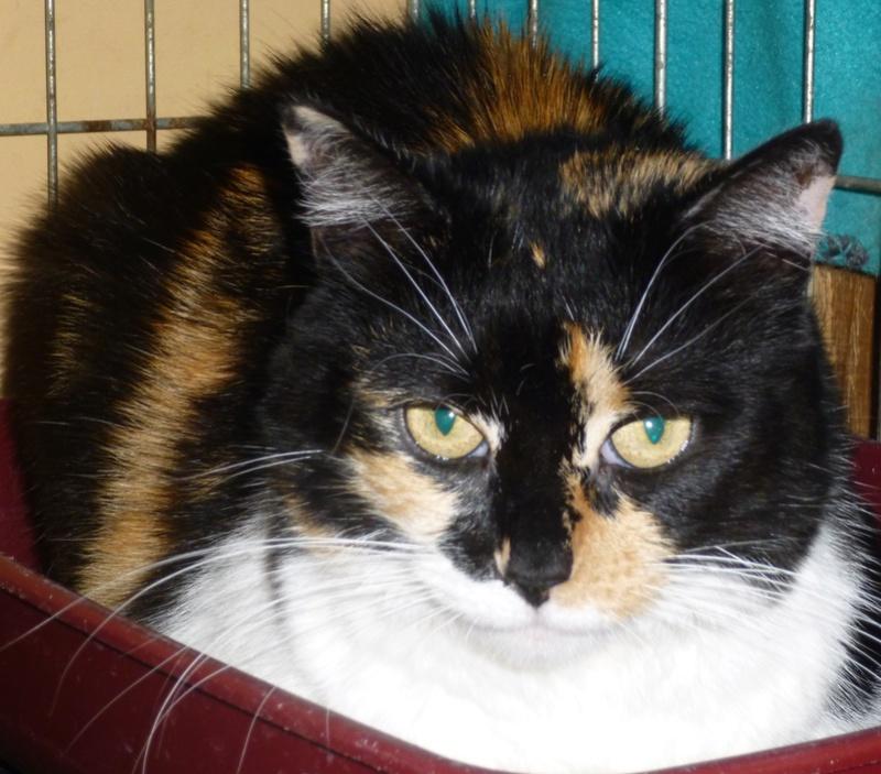 Fifille, belle petite chatte tricolore à poils mi longs de 7 ans P1040413