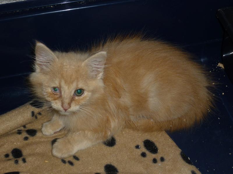 Boule, adorable chaton sable à poils mi longs P1040427
