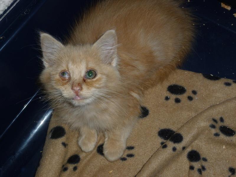 Boule, adorable chaton sable à poils mi longs P1040428