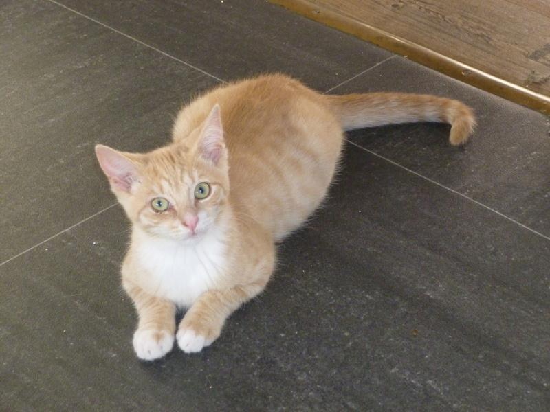 MOKKA, adorable chaton mâle roux claire et blanc de 3 mois P1040510