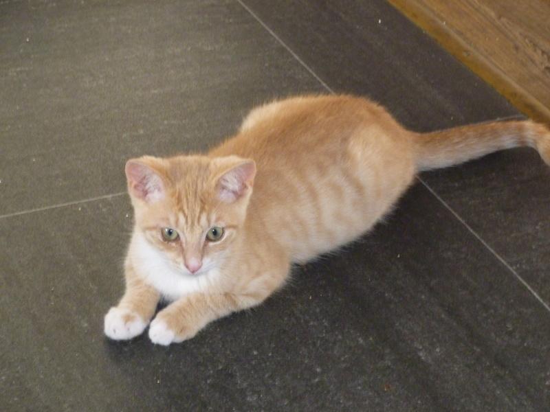 MOKKA, adorable chaton mâle roux claire et blanc de 3 mois P1040513