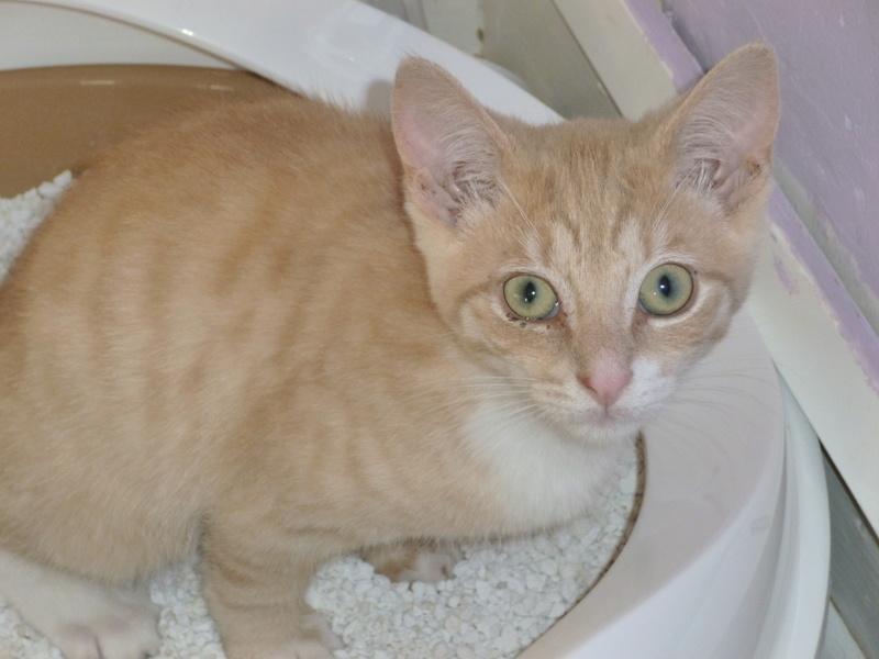 MOKKA, adorable chaton mâle roux claire et blanc de 3 mois P1040514