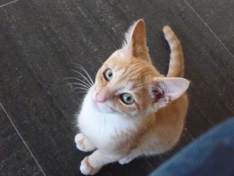 MOKKA, adorable chaton mâle roux claire et blanc de 3 mois P1040515