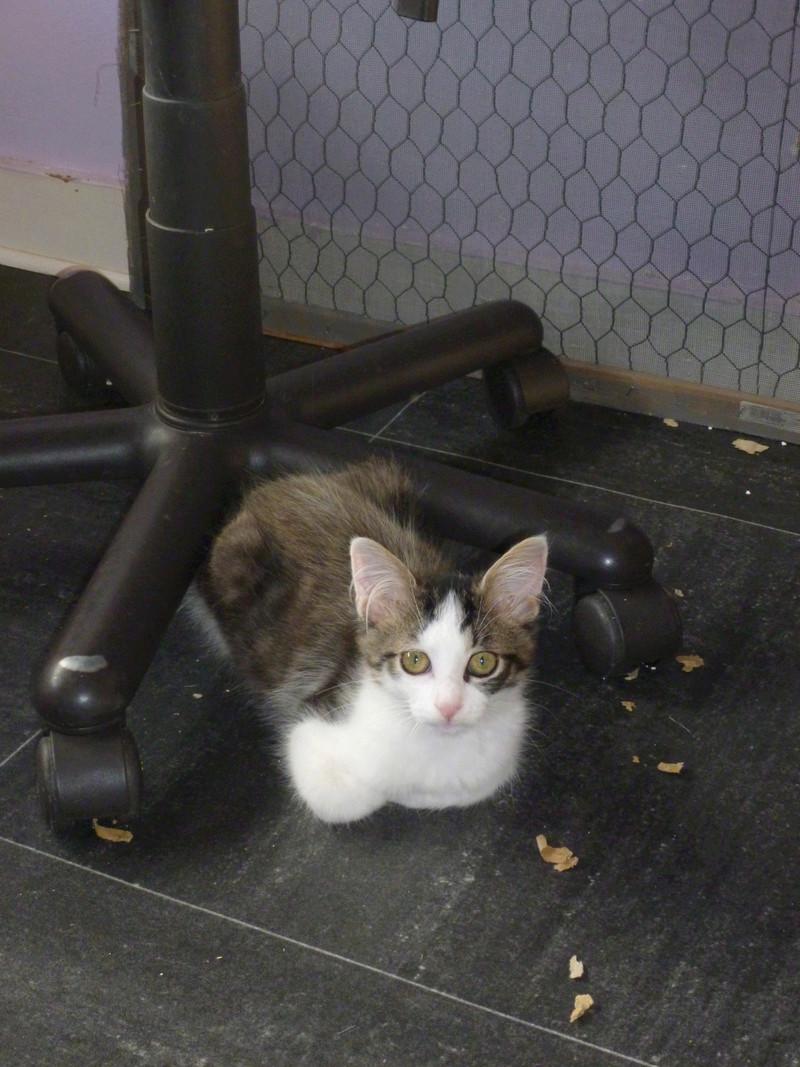 WILSON, adorable chaton blanc et brun à poils mi longs de 3 mois P1040516