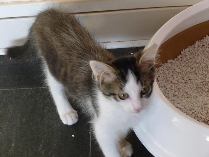 WILSON, adorable chaton blanc et brun à poils mi longs de 3 mois P1040517