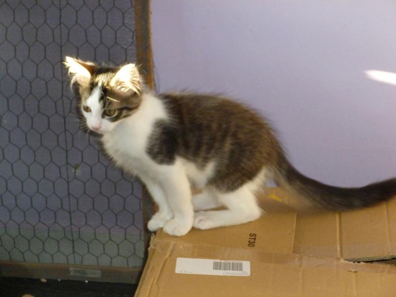 WILSON, adorable chaton blanc et brun à poils mi longs de 3 mois P1040518